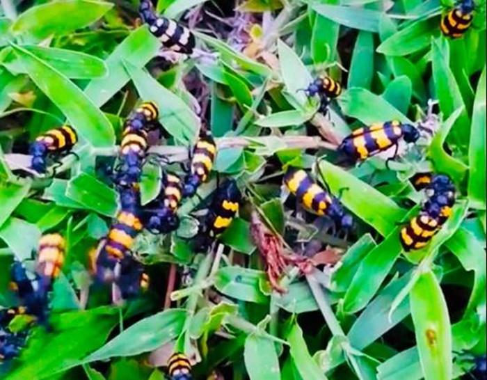Thương lái Trung Quốc mua 1-2 triệu/kg bọ sọc, Bộ Nông nghiệp nói gì?-1