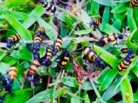 Thương lái Trung Quốc mua 1-2 triệu/kg bọ sọc, Bộ Nông nghiệp nói gì?