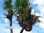 Mãn nhãn với cây ngâu bonsai cổ thụ trị giá hàng tỷ đồng-2