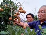 Chuyện thú vị quanh những cây hồng tiến vua sắp tuyệt chủng ở Phú Thọ-7
