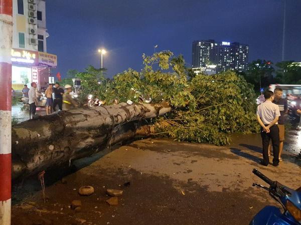 """Cây bật gốc đè chết người trong mưa giông: Phải loại bỏ những cây quá già chứ không thể giữ vĩnh cửu""""-1"""