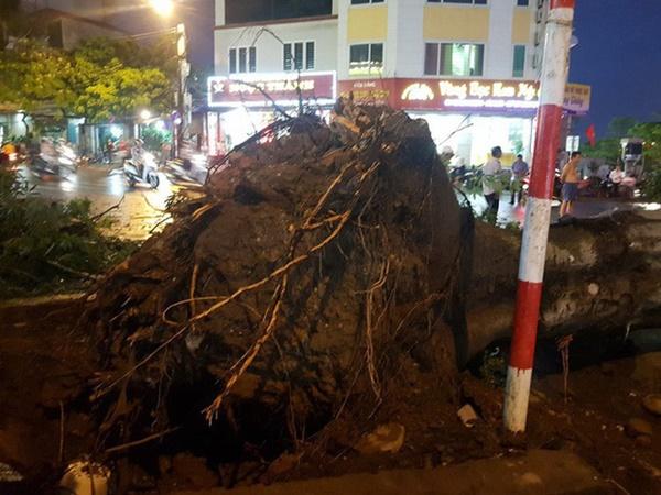 """Cây bật gốc đè chết người trong mưa giông: Phải loại bỏ những cây quá già chứ không thể giữ vĩnh cửu""""-2"""