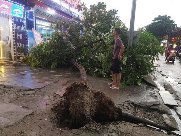 """Cây bật gốc đè chết người trong mưa giông: Phải loại bỏ những cây quá già chứ không thể giữ vĩnh cửu""""-3"""