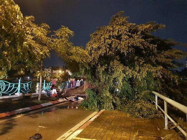 """Cây bật gốc đè chết người trong mưa giông: Phải loại bỏ những cây quá già chứ không thể giữ vĩnh cửu""""-4"""