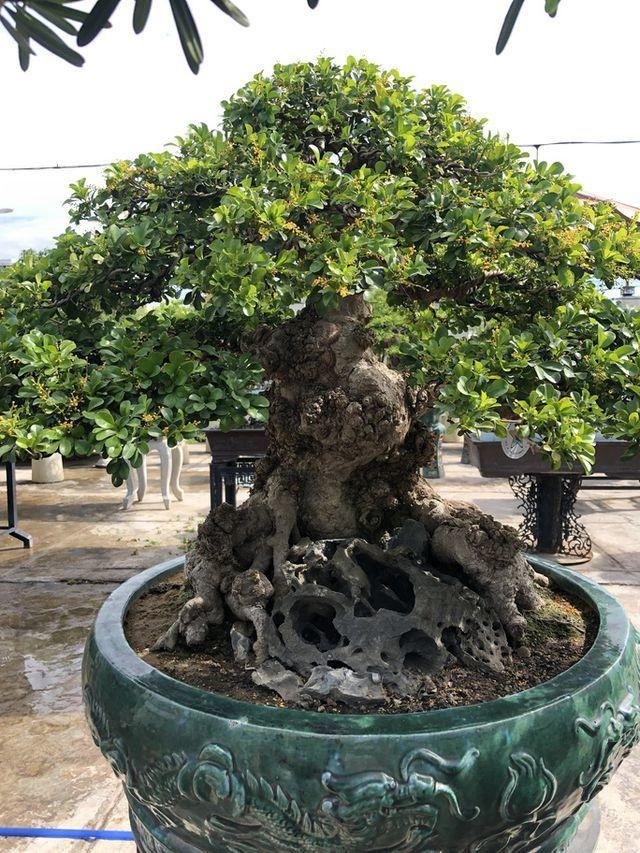 Mãn nhãn với cây ngâu bonsai cổ thụ trị giá hàng tỷ đồng-1