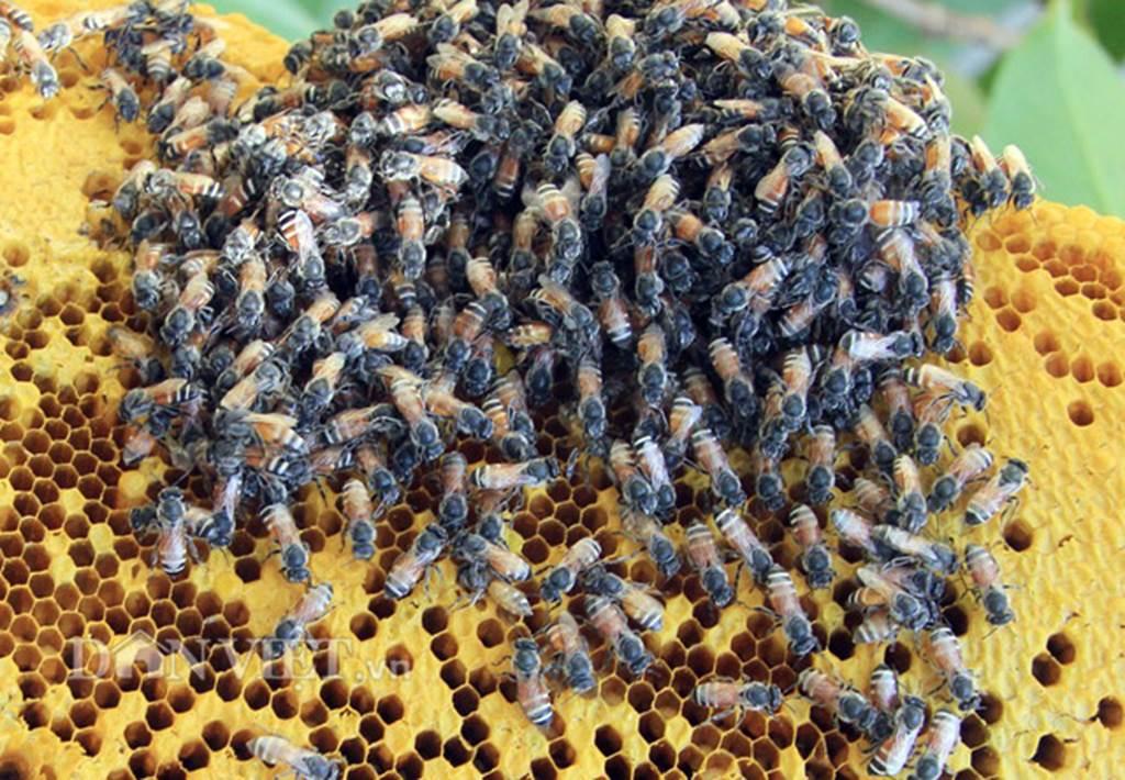Mật ong rú giá trên trời: Có vàng 9999 chưa chắc mua được giọt vàng-6