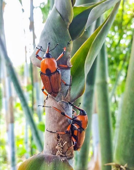 Loại bọ chuyên ăn tre, trẻ em TQ thường đi vào rừng bắt về xào-2