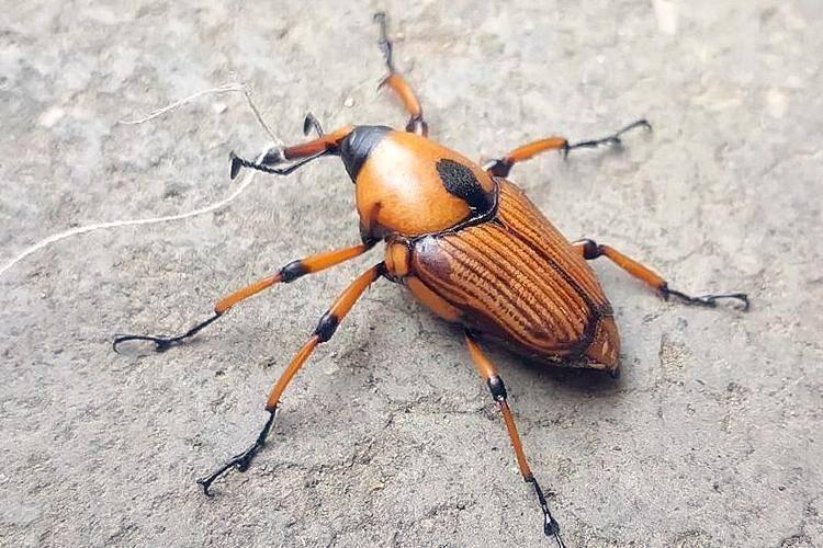 Loại bọ chuyên ăn tre, trẻ em TQ thường đi vào rừng bắt về xào-3