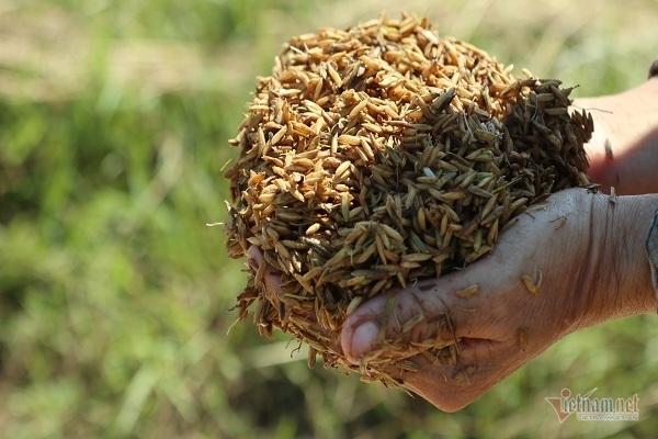 Thóc nảy mầm vứt cho trâu ăn, dân rơi nước mắt lo ngày mai-4