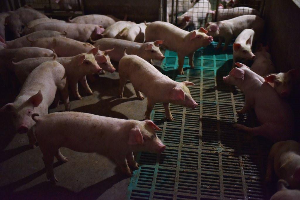 Quá đắt, quá đắt, quá là đắt! - Trung Quốc giữa khủng hoảng thịt lợn-3