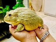 Hơn triệu đồng 1 con ếch bé tẹo, 'dân chơi' vẫn bỏ tiền ra mua