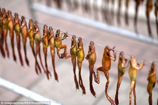 Mỏ vàng trong bụng ếch không ai đoái hoài, giá 1,5 triệu chưa đến 1 lạng-5