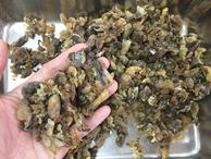 'Mỏ vàng' trong bụng ếch không ai đoái hoài, giá 1,5 triệu chưa đến 1 lạng