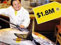 Giá hàng chục tỷ đồng, cá ngừ vây xanh có gì đặc biệt?