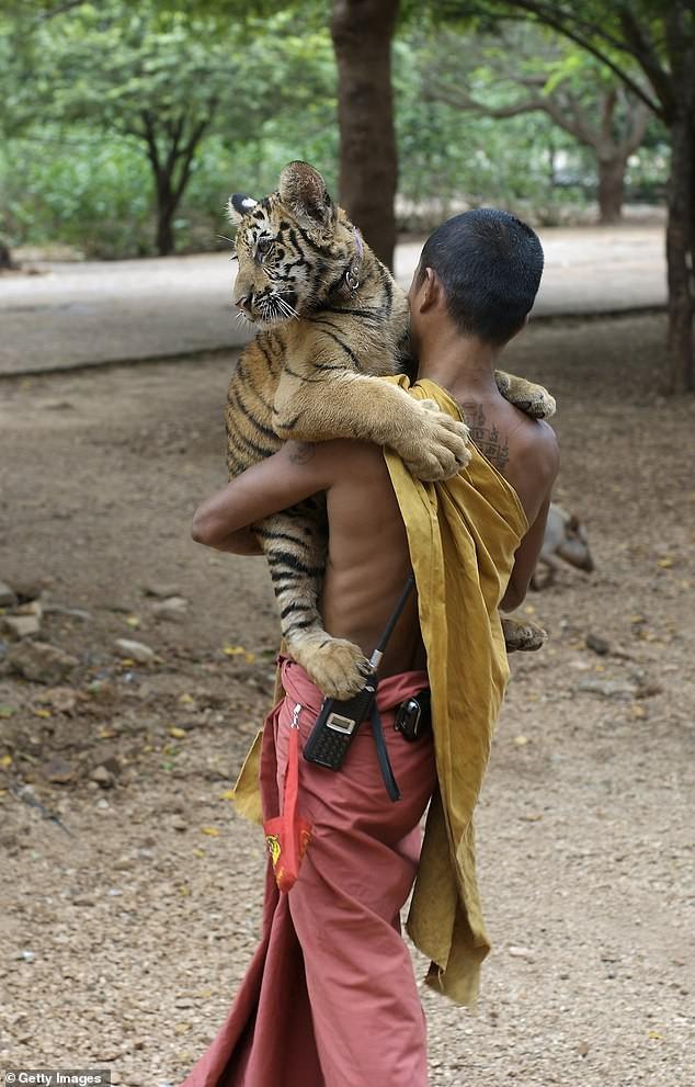 Chùa Hổ nổi tiếng Thái Lan bị cáo buộc lạm dụng, buôn bán hổ trái phép trên thị trường chợ đen-1