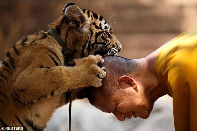 Chùa Hổ nổi tiếng Thái Lan bị cáo buộc lạm dụng, buôn bán hổ trái phép trên thị trường chợ đen-2