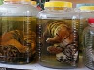 Chùa Hổ nổi tiếng Thái Lan bị cáo buộc lạm dụng, buôn bán hổ trái phép trên thị trường chợ đen