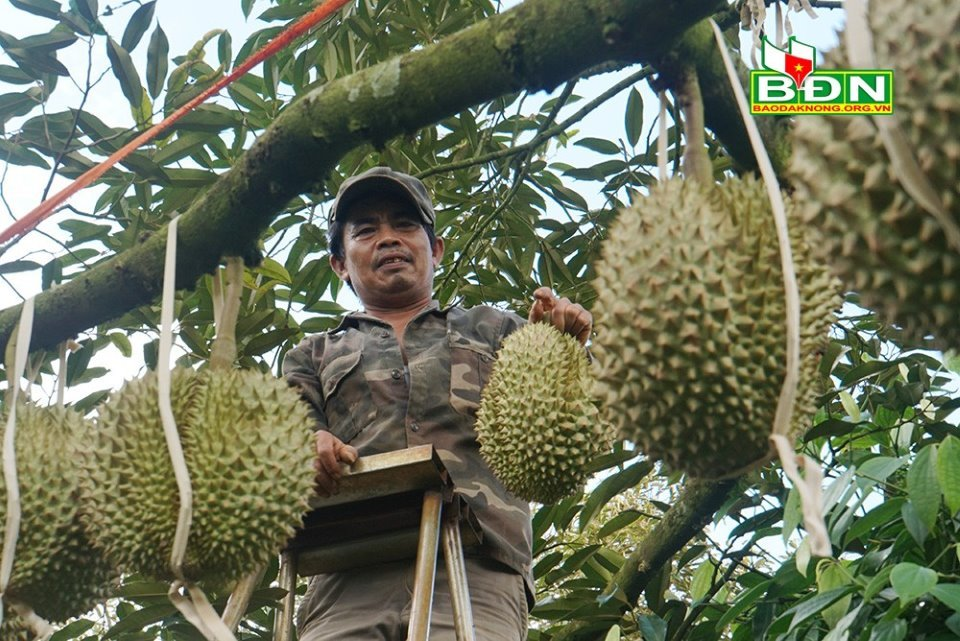 Chuyện lạ Đắk Nông, 36 cây sầu riêng thu 500 triệu đồng-1