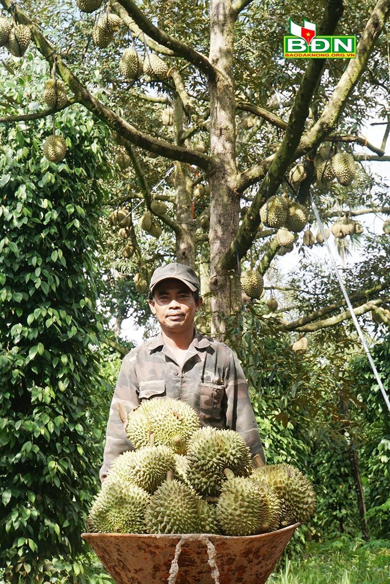 Chuyện lạ Đắk Nông, 36 cây sầu riêng thu 500 triệu đồng-2