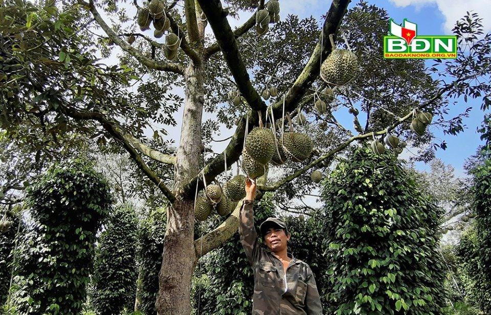 Chuyện lạ Đắk Nông, 36 cây sầu riêng thu 500 triệu đồng-4