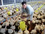 Thịt gà đông lạnh 21 ngàn/kg, nhập thoải mái không lo ép chết gà nội-2