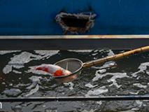 Cá Koi sông Tô Lịch chết có thể do bị phá hoại