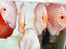 Người nuôi cá cảnh độc, lạ được Thủ tướng tặng 2 bằng khen là ai?