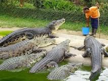 Hiên ngang bón thức ăn cho đàn cá sấu ngoại cỡ