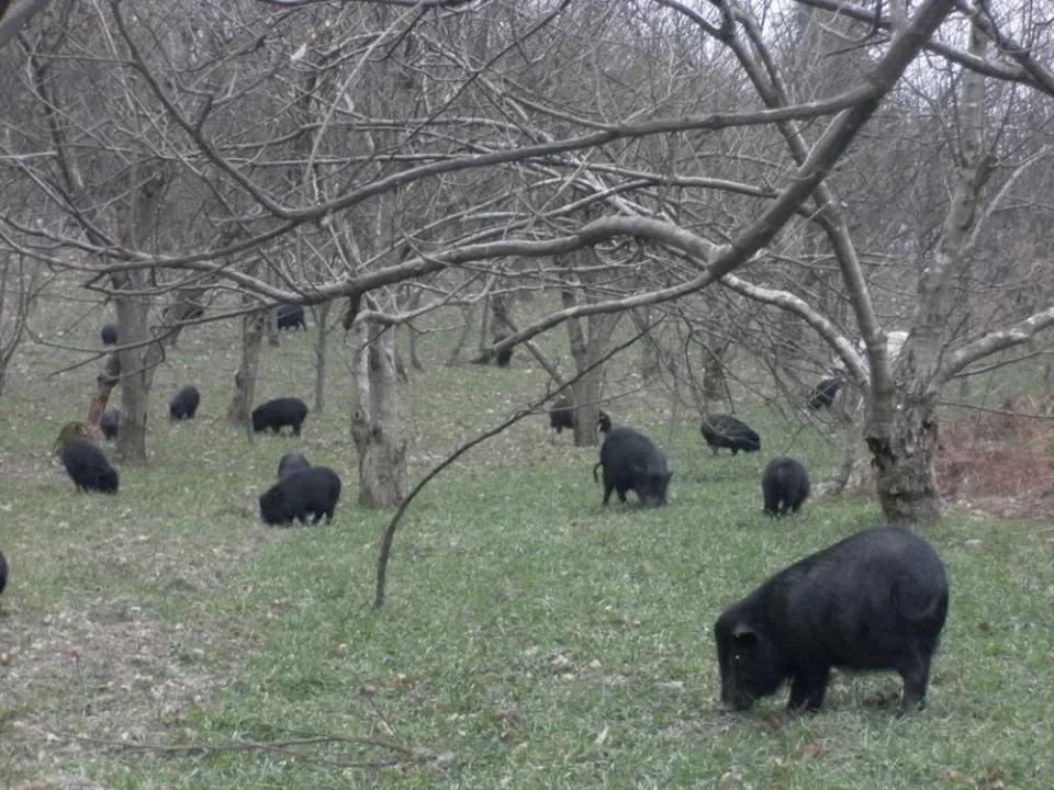 Giống lợn ăn nhân sâm, đông trùng hạ thảo,... giá 6,5 triệu đồng/kg-1