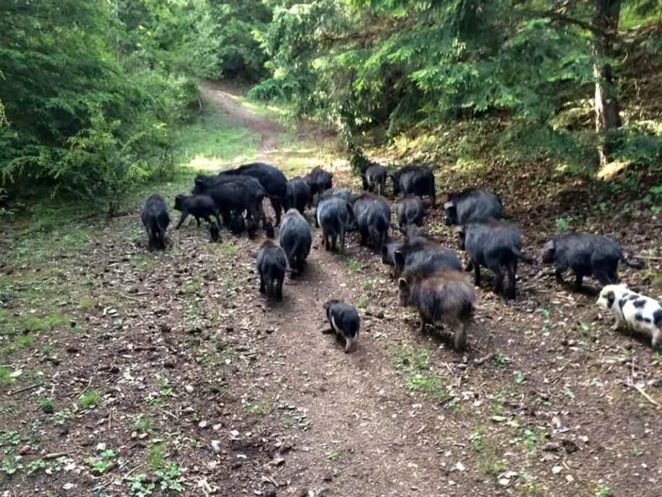 Giống lợn ăn nhân sâm, đông trùng hạ thảo,... giá 6,5 triệu đồng/kg-2