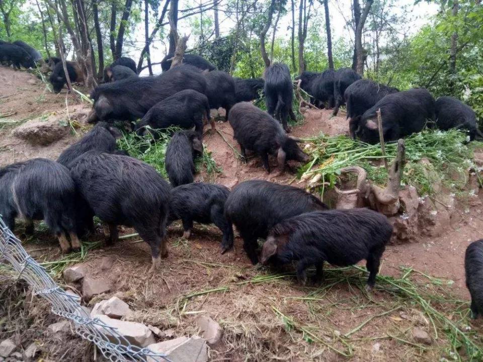 Giống lợn ăn nhân sâm, đông trùng hạ thảo,... giá 6,5 triệu đồng/kg-3