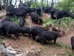 3 loài lợn quái vật: Loại như cừu, có vòi, dáng dị chưa từng thấy-13