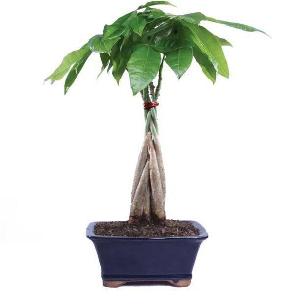 Mệnh Mộc hợp cây gì rước lộc vào nhà?-2