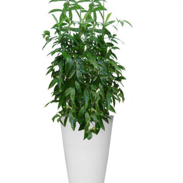 Mệnh Mộc hợp cây gì rước lộc vào nhà?-3