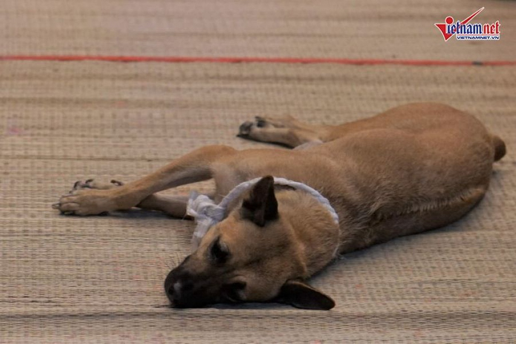 Chú chó của nghệ sĩ Xuân Hiếu bỏ ăn, nằm phục bên linh cữu chủ-7