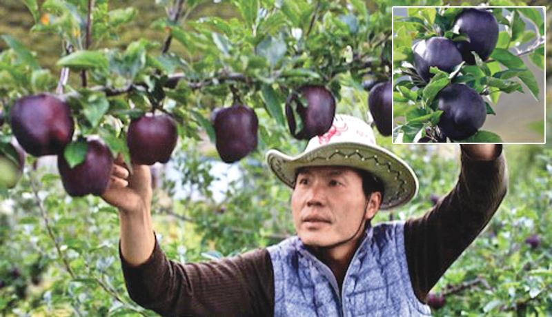 Quả táo đen xì đen xịt độc, lạ, ngon, bổ giá gần nửa triệu mỗi quả-1