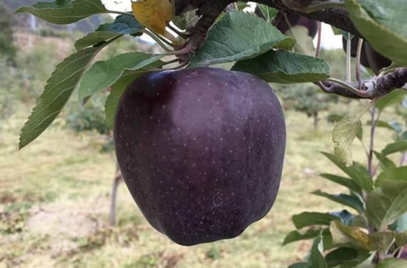Quả táo đen xì đen xịt độc, lạ, ngon, bổ giá gần nửa triệu mỗi quả-2