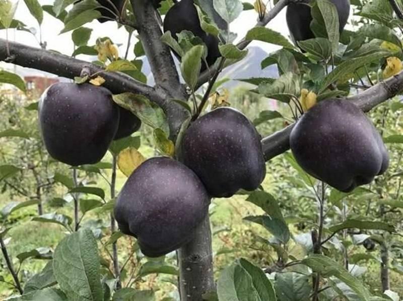 Quả táo đen xì đen xịt độc, lạ, ngon, bổ giá gần nửa triệu mỗi quả-3