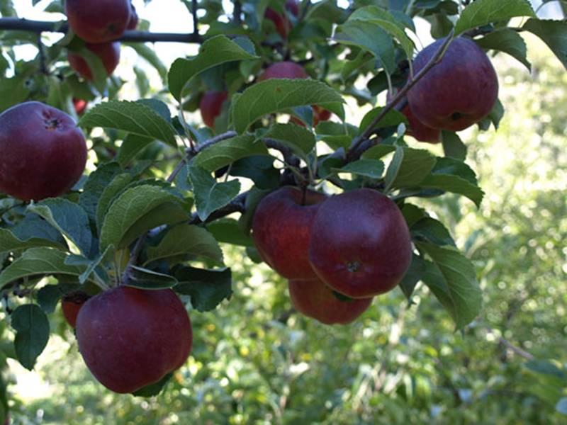 Quả táo đen xì đen xịt độc, lạ, ngon, bổ giá gần nửa triệu mỗi quả-6