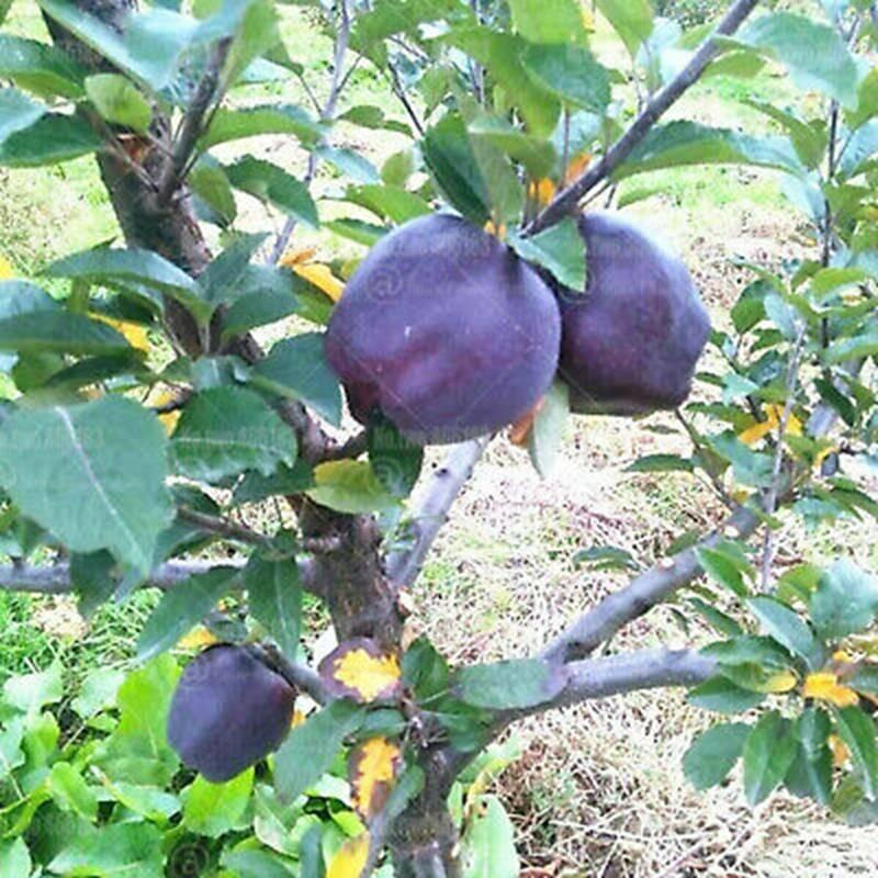 Quả táo đen xì đen xịt độc, lạ, ngon, bổ giá gần nửa triệu mỗi quả-7