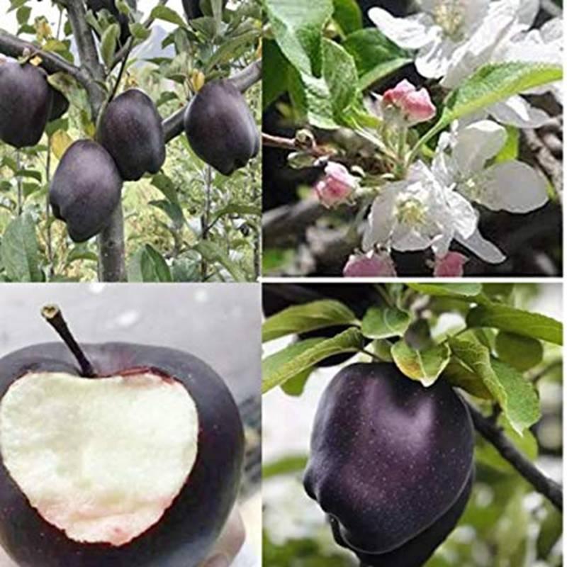 Quả táo đen xì đen xịt độc, lạ, ngon, bổ giá gần nửa triệu mỗi quả-9
