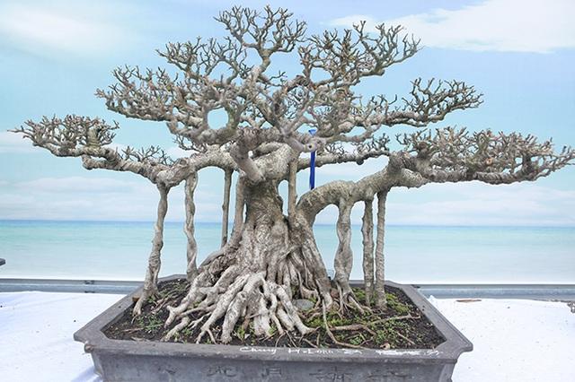 Mãn nhãn với vẻ đẹp kỳ dị của hàng trăm cây sanh bonsai ở Thanh Hóa-13