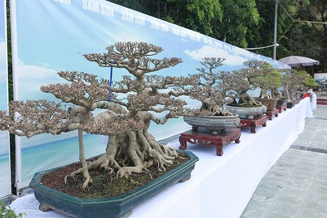 Mãn nhãn với vẻ đẹp kỳ dị của hàng trăm cây sanh bonsai ở Thanh Hóa-2