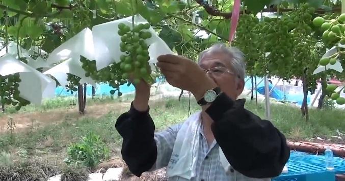 Nho sữa Nhật Bản đắt đỏ được trồng thế nào?-10