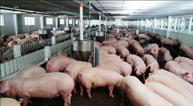 Nỗi buồn gà rẻ như rau, thịt lợn đắt kỷ lục, biết rồi nói mãi-2