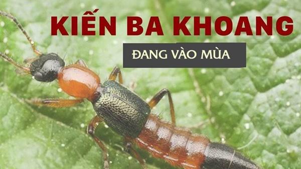 Độc tố của kiến ba khoang mạnh gấp 12-15 lần rắn hổ mang: Nhận biết kiến ba khoang và phòng tránh chất độc của chúng dính vào da-1