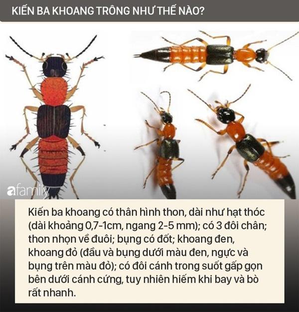 Độc tố của kiến ba khoang mạnh gấp 12-15 lần rắn hổ mang: Nhận biết kiến ba khoang và phòng tránh chất độc của chúng dính vào da-2