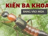 Độc tố của kiến ba khoang mạnh gấp 12-15 lần rắn hổ mang: Nhận biết kiến ba khoang và phòng tránh chất độc của chúng dính vào da