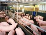 Giá thịt lợn cao kỷ lục và tiếp tục tăng, Việt Nam có nhập khẩu thịt?-3