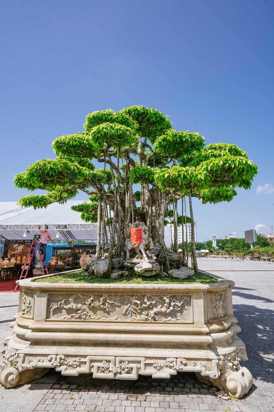 Siêu cây trị giá 20 triệu USD, người Nhật trả không bán-2